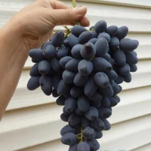 гроздь сорта винограда Атос