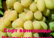 виноград Кантемировский