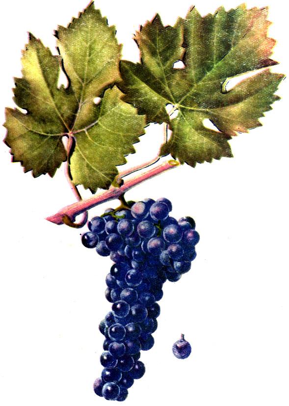 гроздь цимлянского черного