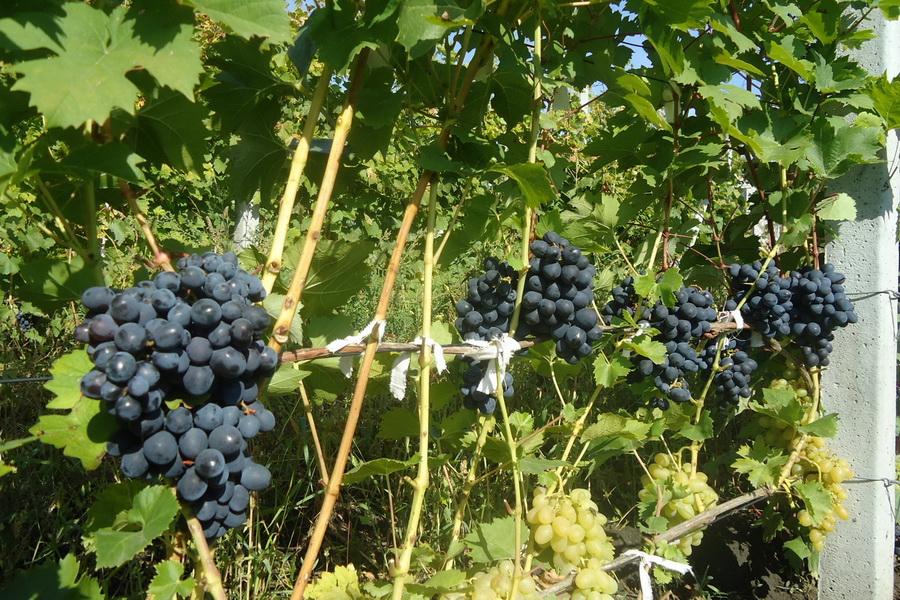 сорт винограда Нептун