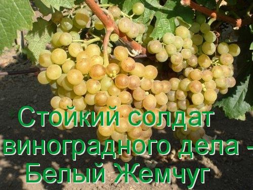 Стойкий солдат виноградного дела - Белый Жемчуг