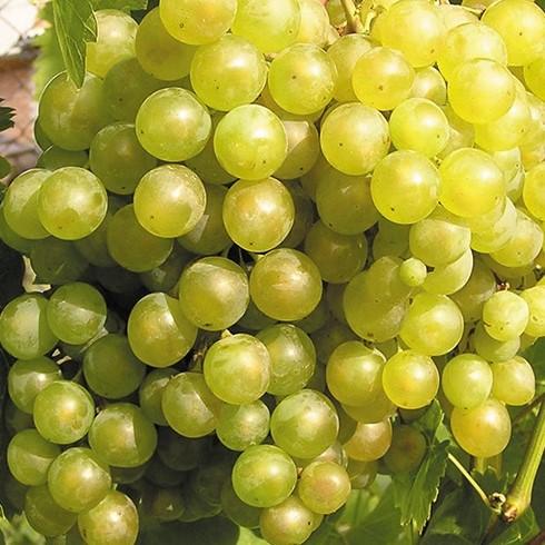 ягоды белого жемчуга