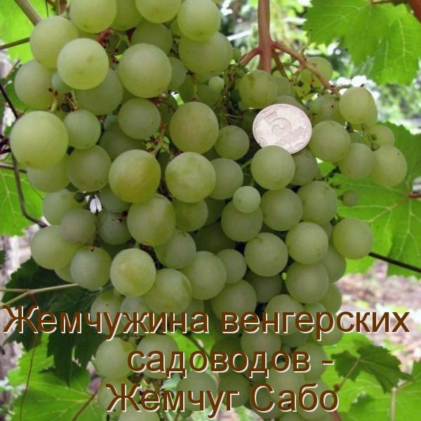 Жемчужина венгерских садоводов - Жемчуг Сабо