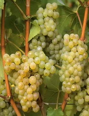 грозди винограда белый жемчуг