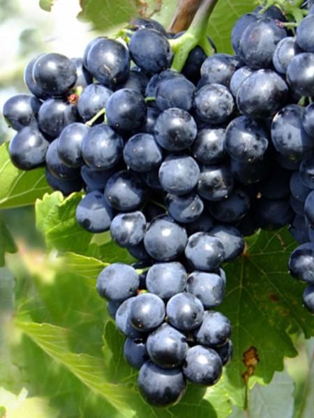 кисть винограда шахтер