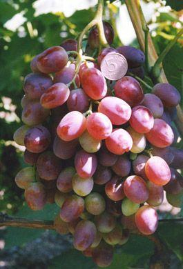 ягоды винограда – Шахиня Ирана