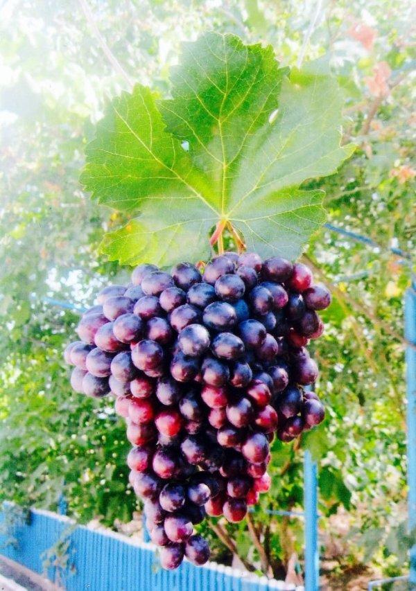 гроздь аметистового