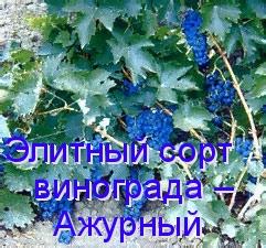 Элитный сорт винограда – Ажурный