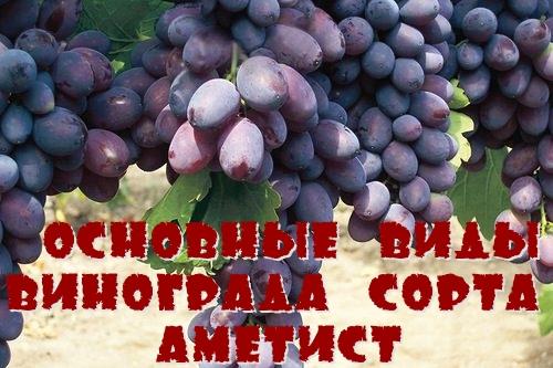 Основные виды винограда сорта Аметист