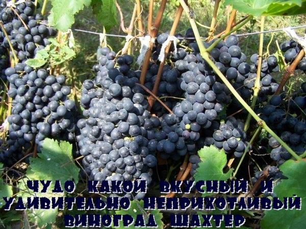 Чудо какой вкусный и удивительно неприхотливый виноград Шахтер
