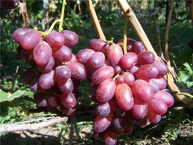 грозди винограда – Шахиня Ирана