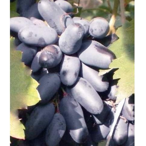 ягоды винограда черный палец