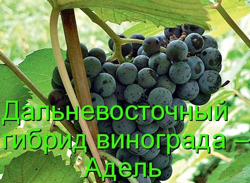 Дальневосточный гибрид винограда – Адель