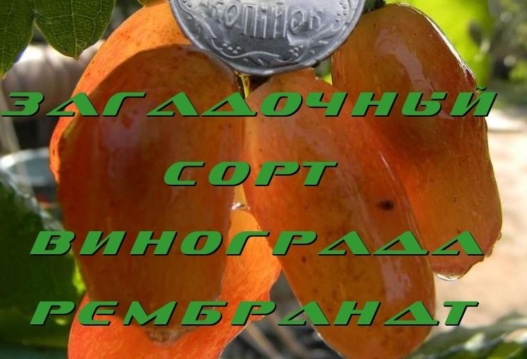 Виноград Рембрандт