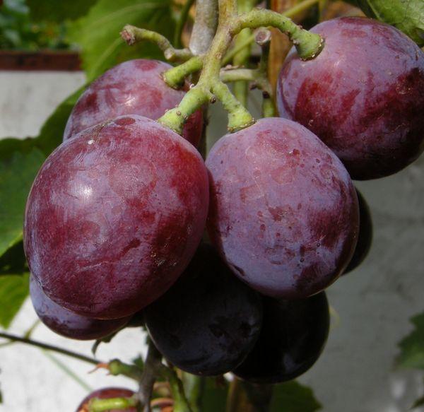 ягоды винограда Нина