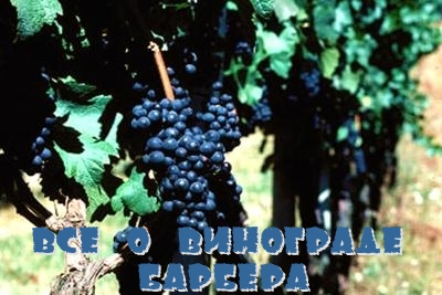 Все о винограде Барбера