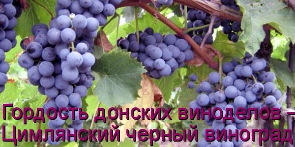 Гордость донских виноделов –Цимлянский черный виноград