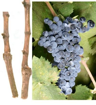 Срет винограда цимлянский черный