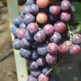 виноград раджа