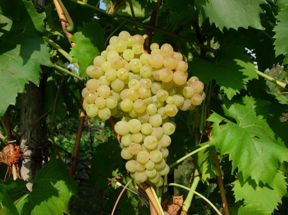Ягоды винограда Белое пламя