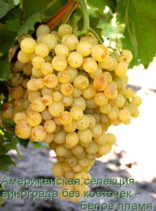 Американская селекция винограда без косточек - Белое пламя
