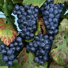 Грозди винограда регент