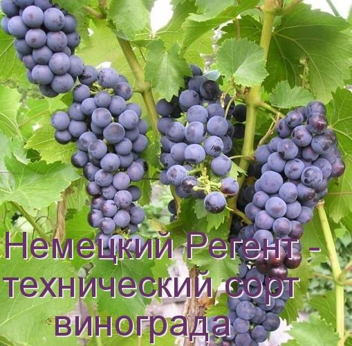 Немецкий Регент - технический сорт винограда