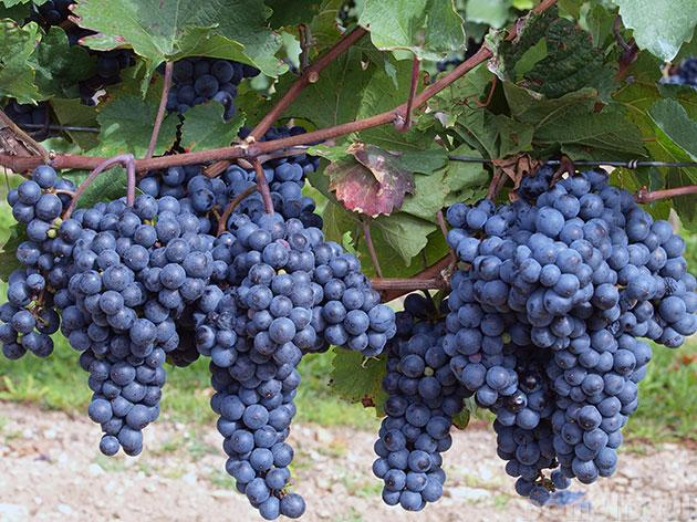 ягоды винограда регент