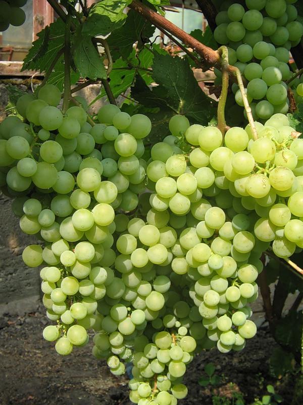 грозди жемчуга саба