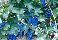 виноград ажурный