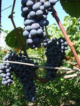 грозди адель
