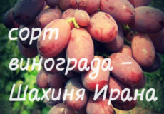 сорт винограда шахиня ирана