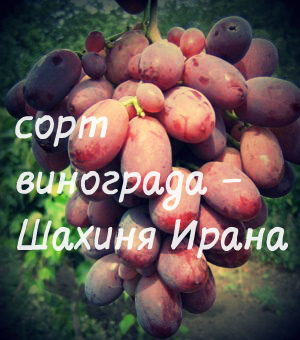 шахиня ирана сорт винограда фото и описание если