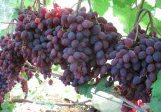 Сорт винограда Кишмиш Запорожский