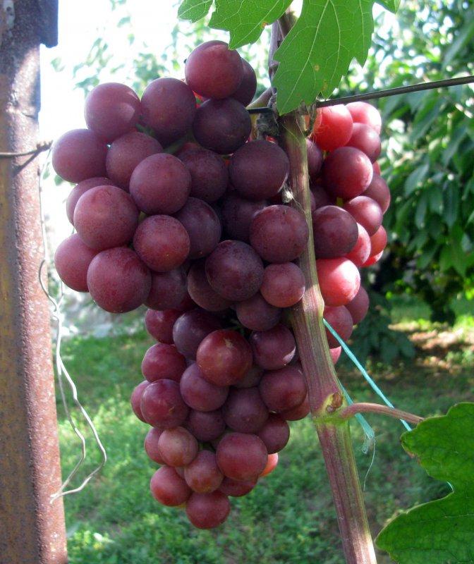 гроздь сорта Нина