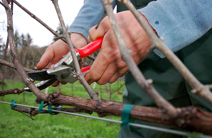правила подрезки винограда