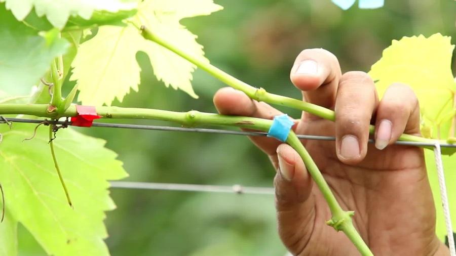 процесс прививания винограда
