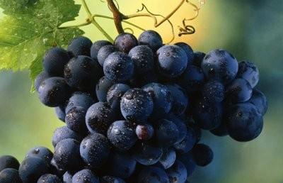 ягоды винограда шахтер