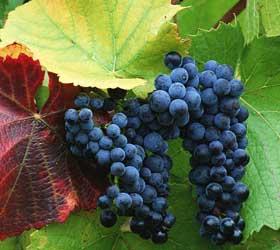 грозди винограда Барбера