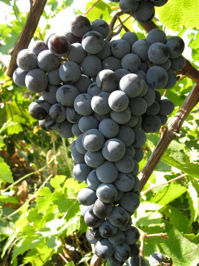 ягоды винограда цимлянский черный