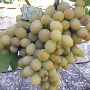бируинца сорт винограда