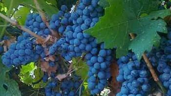 грозди ажурного
