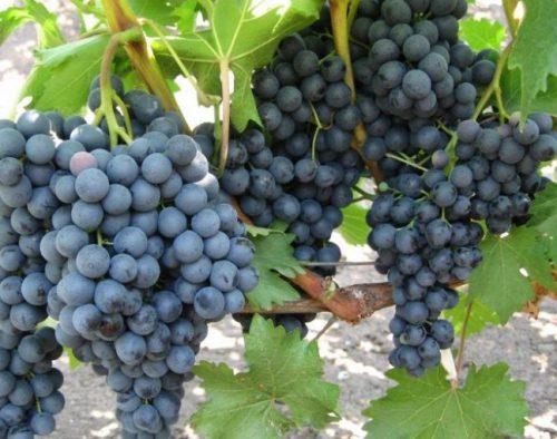 грозди винограда макси черный
