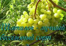 виноград памяти шатилова