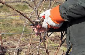 Весенний-уход-за-виноградом