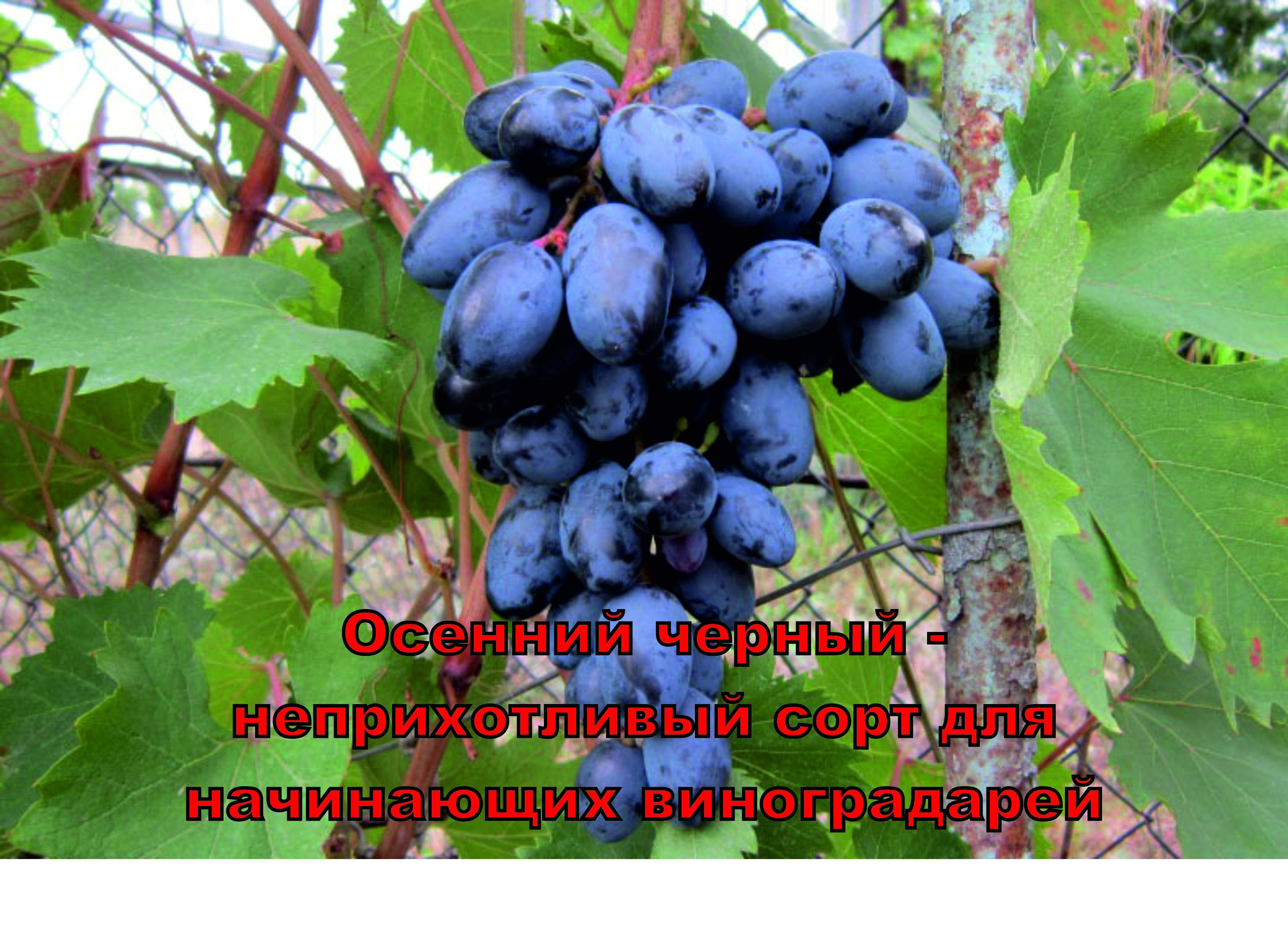 Сорт винограда осенний черный фото
