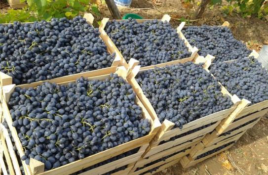 Виноград Осенний черный в ящиках