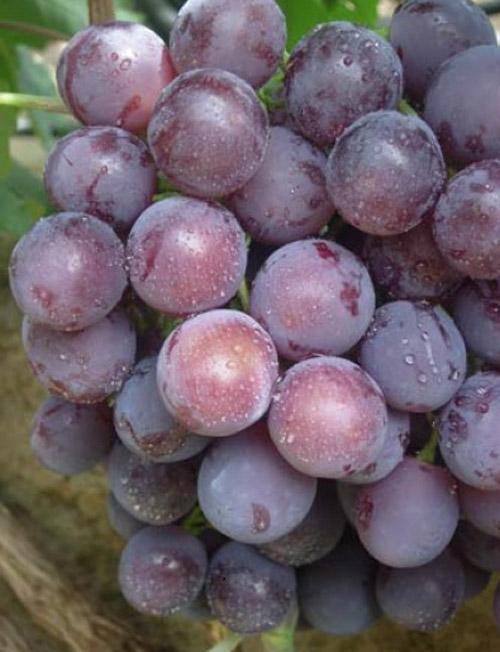Сорт винограда Сеня