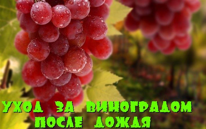 Виноград после дождя