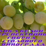 Сорт Кокл Белый